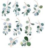 Απεικονίσεις κλαδίσκων πρασινάδων watercolor ευκαλύπτων ελεύθερη απεικόνιση δικαιώματος