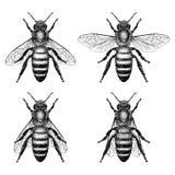 Απεικονίσεις μελισσών μελιού Στοκ Εικόνες