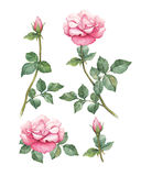Απεικονίσεις ροδαλά λουλούδια ελεύθερη απεικόνιση δικαιώματος
