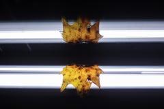 Απεικονισμένο καθρέφτης φύλλο φθινοπώρου Στοκ Φωτογραφία