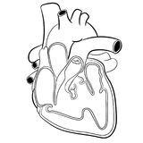 Απεικόνιση ανατομία-διανύσματος καρδιών διανυσματική απεικόνιση