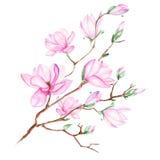 Απεικόνιση με τον κλάδο magnolia Στοκ Εικόνες