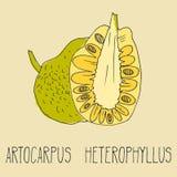 Απεικόνιση σχεδίων χεριών του jackfruit Στοκ Φωτογραφία