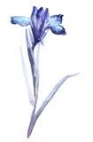 Απεικόνιση της ίριδας Ύφος sumi-ε, που χρωματίζεται με τα μπλε χρώματα Στοκ Φωτογραφίες