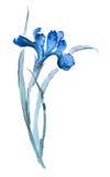 Απεικόνιση της ίριδας Ύφος sumi-ε, που χρωματίζεται με τα μπλε χρώματα Στοκ εικόνα με δικαίωμα ελεύθερης χρήσης