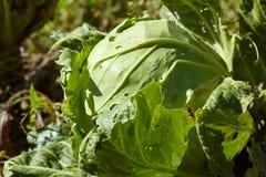 Απεικόνιση των λαχανικών που μολύνονται με την ασθένεια Στοκ φωτογραφία με δικαίωμα ελεύθερης χρήσης