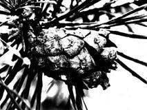 Απεικόνιση των κώνων σε έναν κλάδο Στοκ Εικόνες