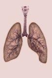 Απεικόνιση των πνευμόνων με την τραχεία και τους βρόγχους Στοκ Φωτογραφίες