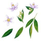 Απεικόνιση watercolor ανθών εσπεριδοειδών διανυσματική απεικόνιση