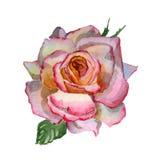 Απεικόνιση watercolor λουλουδιών Μια τρυφερή ρόδινη Rosa σε ένα άσπρο υπόβαθρο ελεύθερη απεικόνιση δικαιώματος