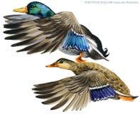 Απεικόνιση watercolor πρασινολαιμών αγριοχήνων Στοκ Φωτογραφίες