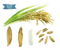 Απεικόνιση watercolor ρυζιού με το ψαλίδισμα των πορειών ελεύθερη απεικόνιση δικαιώματος