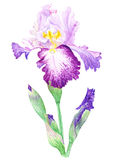 Απεικόνιση watercolor της Iris Στοκ εικόνες με δικαίωμα ελεύθερης χρήσης