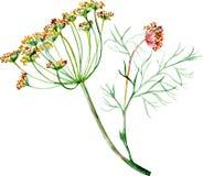 Απεικόνιση Watercolor του άνηθου με το λουλούδι και τους σπόρους ελεύθερη απεικόνιση δικαιώματος