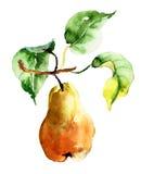 Απεικόνιση Watercolor του αχλαδιού Στοκ Φωτογραφία