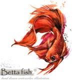 Απεικόνιση watercolor ψαριών Betta απεικόνιση αποθεμάτων