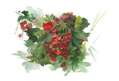 Απεικόνιση Watercolor redcurrant Στοκ φωτογραφία με δικαίωμα ελεύθερης χρήσης