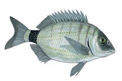 Ψάρια Sargo Στοκ εικόνες με δικαίωμα ελεύθερης χρήσης