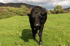 Απειλητικό μαύρο αγελάδα ή bullock που έρχεται στη κάμερα Στοκ Εικόνες