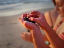 Απελευθέρωση Puerto Vallarta Μεξικό χελωνών μωρών στοκ εικόνες με δικαίωμα ελεύθερης χρήσης