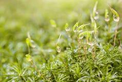 Απελευθερώσεις της δροσιάς πρωινού στο πράσινο βρύο Στοκ εικόνες με δικαίωμα ελεύθερης χρήσης