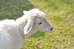 Απληροφόρητα πρόβατα ή ένα πρόβατο στο αγρόκτημα Στοκ Εικόνα