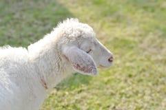 Απληροφόρητα πρόβατα ή ένα πρόβατο στο αγρόκτημα Στοκ Φωτογραφίες