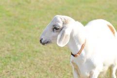Απληροφόρητα πρόβατα ή ένα πρόβατο στο αγρόκτημα Στοκ Φωτογραφία