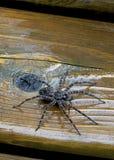 Αποβάθρα ή αράχνη αλιείας - Dolomedes Στοκ φωτογραφία με δικαίωμα ελεύθερης χρήσης