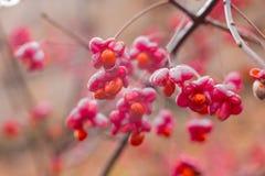 Αποβαλλόμενος θάμνος, ρόδινα λουλούδια με τους πορτοκαλιούς σπόρους του europaeus ή του άξονα euonymus Celastraceae στοκ εικόνες με δικαίωμα ελεύθερης χρήσης