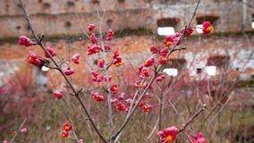 Αποβαλλόμενος θάμνος, ρόδινα λουλούδια με τους πορτοκαλιούς σπόρους του europaeus ή του άξονα euonymus Celastraceae στοκ εικόνες