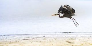 Απογείωση ερωδιών Στοκ φωτογραφίες με δικαίωμα ελεύθερης χρήσης