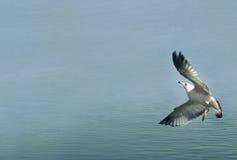 Απογείωση. Seagull κάνει να ανασηκώσει την επιφάνεια νερού Στοκ εικόνα με δικαίωμα ελεύθερης χρήσης