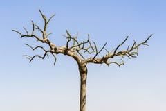 Απογυμνωμένο δέντρο Στοκ Εικόνες
