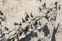 Αποικία κορμοράνων στους βράχους Στοκ Εικόνες
