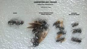 Αποικία μυρμηγκιών ξυλουργών Στοκ φωτογραφίες με δικαίωμα ελεύθερης χρήσης