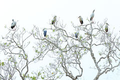 Αποικία πουλιών, στο δέντρο Ο ασιατικός πελαργός openbill, Anastomus oscitans, είναι ένα μεγάλο wading πουλί στην οικογένεια Cico Στοκ Εικόνα