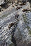 Αποικία σφραγίδων γουνών (forsteri Arctocephalus) στον ήχο Milford, Fior Στοκ Εικόνες
