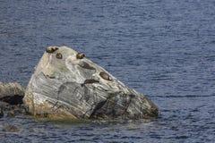 Αποικία σφραγίδων γουνών (forsteri Arctocephalus) στον ήχο Milford, Fior Στοκ Φωτογραφία