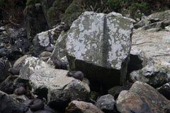 Αποικία σφραγίδων Στοκ εικόνες με δικαίωμα ελεύθερης χρήσης