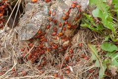 Αποικία του μαύρου και κόκκινου apterus Firebug ή Pyrrhocoris, σε ένα παλαιό κολόβωμα δέντρων Στοκ εικόνα με δικαίωμα ελεύθερης χρήσης