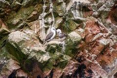 Αποικία των κορμοράνων - επιφύλαξη φύσης νησιών Ballestas - Περού Στοκ Εικόνες