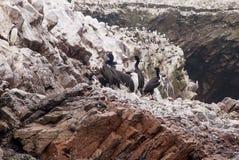 Αποικία των κορμοράνων - επιφύλαξη φύσης νησιών Ballestas - Περού Στοκ Φωτογραφία