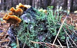 Αποικία των μανιταριών που αυξάνονται σε ένα παλαιό κολόβωμα δέντρων που καλύπτεται με το βρύο Στοκ Φωτογραφίες
