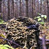 Αποικία των μανιταριών που αυξάνονται σε ένα παλαιό κολόβωμα δέντρων που καλύπτεται με το βρύο Στοκ φωτογραφία με δικαίωμα ελεύθερης χρήσης