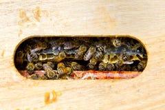 Αποικία των μελισσών μελιού στοκ εικόνες