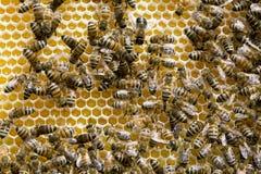 Αποικία των μελισσών μελιού στοκ φωτογραφία με δικαίωμα ελεύθερης χρήσης