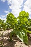 Αποικία των μικρών μαύρων aphids Στοκ φωτογραφίες με δικαίωμα ελεύθερης χρήσης