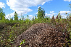 Αποικία των μυρμηγκιών το θερινό απόγευμα Στοκ Εικόνες