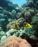αποικία anemone Στοκ Εικόνες